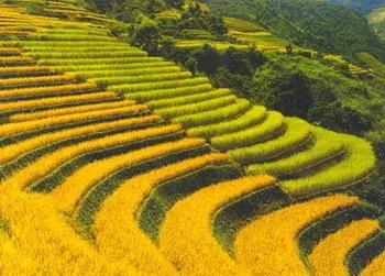 Enquête en Chine sur un essai de riz OGM sur des enfants   essai clinique   Scoop.it