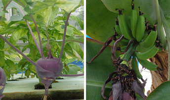 Aquaponics News, October, 2013 | Aquaponics for Aquarists | Scoop.it