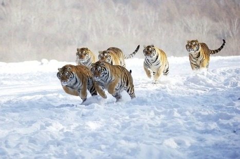 Twitter / BEAUTIFULPlCS: Tigers in the snow. ... | Cats Rule the World | Scoop.it