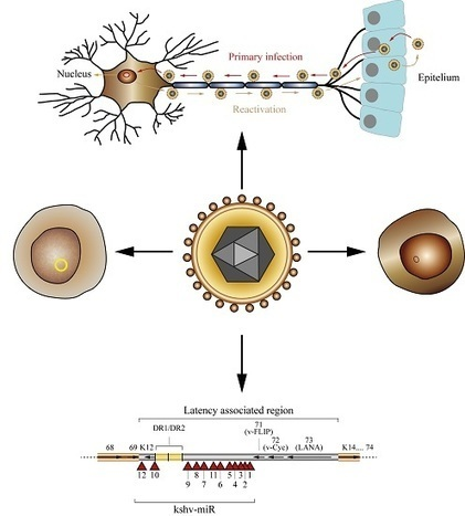The Role of microRNAs in the Pathogenesis of Herpesvirus Infection | Virology and Bioinformatics from Virology.ca | Scoop.it
