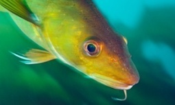 North sea cod stocks bounce back, analysis shows | Liv & Røre | Scoop.it