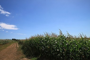 La culture du maïs transgénique MON 810 interdite en France | Toxique, soyons vigilant ! | Scoop.it