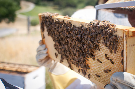 Bee-Killing Germs May Leave You With Less Food Options | Sustain Our Earth | Scoop.it