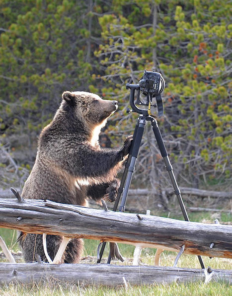 Photographer's Images Prove that Bear Was At Fault for Breaking Rented Gear | All Things Photography | Scoop.it