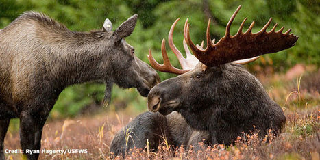petition: Keep the North Woods Alive with Moose | Oceans and Wildlife | Scoop.it