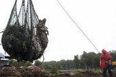 Cerdos muertos en China ya suman 12566 - El Nuevo Herald | Producción de porcinos | Scoop.it