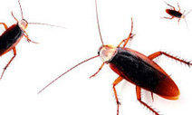 """HowStuffWorks """"Getting Rid of Cockroaches""""   LOCAL HEALTH TRADITIONS   Scoop.it"""