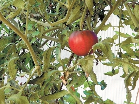 Aquaponics ideal for growing green - Monterey County Herald | Aquaponics World View | Scoop.it