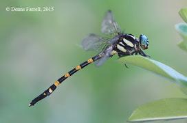 Dragonflies and damselflies of Thailand: 179. Macrogomphus matsukii Asahina, 1986 | Scoop des Histoires Naturelles | Scoop.it