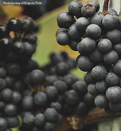 Top 10 Pinot Noir Fun Factoids - The Drync.com Wine BlogThe Drync.com Wine Blog | Pinot Post | Scoop.it