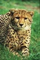 Clonación de animales en peligro de extinción | Ecologismo | Animales en peligro de Extinción | Scoop.it