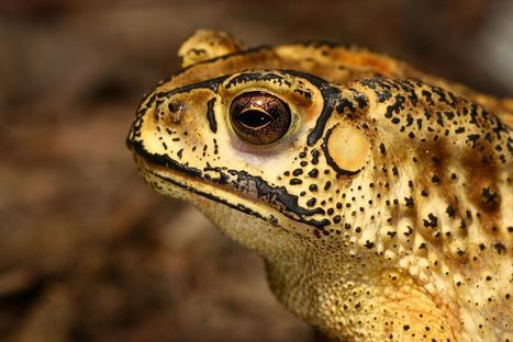 Madagascar Could Be on the Brink of Invasion by Asian Toad | Geographic and Sustainability Literacy | Scoop.it