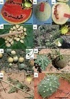 Watermelon origin solved with molecular phylogenetics including Linnaean material: another example of museomics - Chomicki - 2014 - New Phytologist - Wiley Online Library | Herbaria and research | Scoop.it