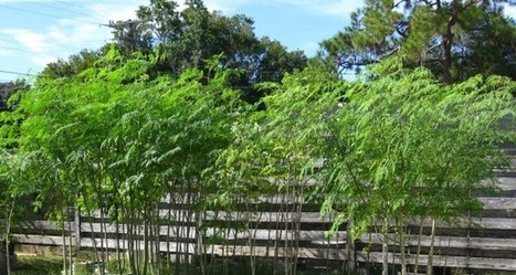 5 Keys To Growing The New 'Superfood' Moringa | Off The Grid News | Growing Moringa | Scoop.it