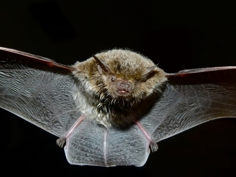 Hunting Adaptation: Bats Sneak Up on Moths - Nature World News | Bat Biology and Ecology | Scoop.it
