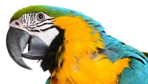 Pourquoi certains oiseaux sont-ils si intelligents?