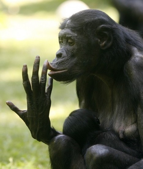 Human babies share a common 'language' with bonobo apes | Linguistics & Language Neurology | Scoop.it