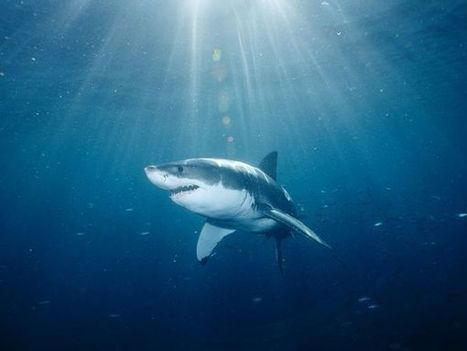Mexico Bans Shark Fishing, The Capture Of Great White Sharks | Global Animal | All about water, the oceans, environmental issues | Scoop.it