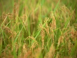 Texas rice farming towns struggle without water | Grains market news | Organic Gardening, Farming, Lawncare, Landscaping & Eating :) | Scoop.it