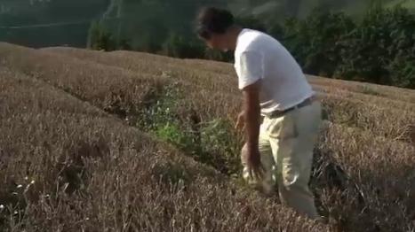 [vidéo] Le Thé du Japon, victime collatérale de Fukushima   Japon Information   Japon : séisme, tsunami & conséquences   Scoop.it