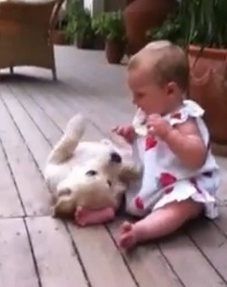 Golden Retriever puppy delighted to see toddler (VIDEO) | animals and prosocial capacities | Scoop.it