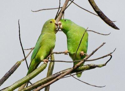 Wild Parrots Get Names From Parents | Amazing Science | Scoop.it