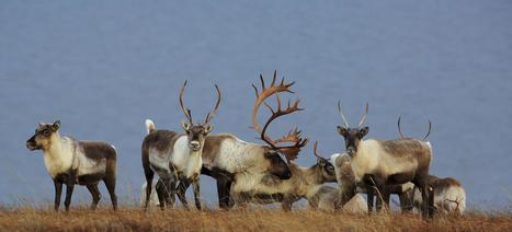 Le Figaro Premium - Au Canada, le caribou est en voie de disparition   La presse et la classe de fle   Scoop.it