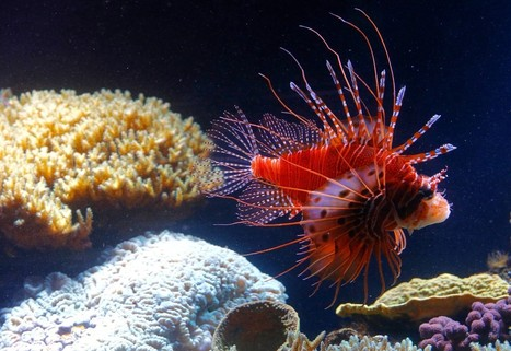 I could not believe what I found inside a #lionfish ~ even signs of #liverDamage  #overEating ~ more below...   Rescue our Ocean's & it's species from Man's Pollution!   Scoop.it