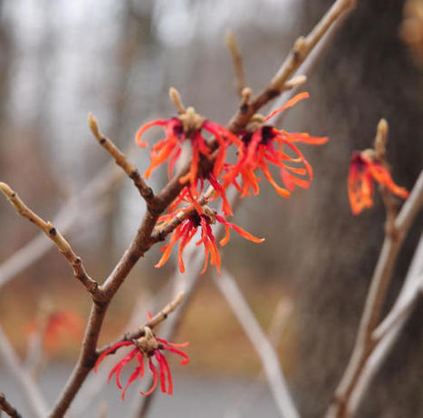 Winter Blooming Trees and Shrubs that Outshine Cold Weather / Seasons   Fiskars   Annie Haven   Haven Brand   Scoop.it
