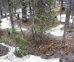 Decline in snow cover spells trouble for many plants, animals | Sustain Our Earth | Scoop.it