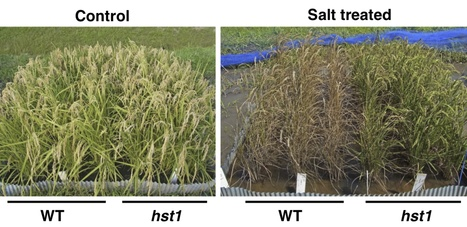 Nature Biotechnology: MutMap accelerates breeding of a salt-tolerant rice cultivar (2015) | MutMap | Scoop.it