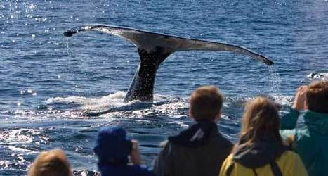 Could #tourists' #hunger for #Whales #threaten the species? If they're #eating it 'yes' ! | Rescue our Ocean's & it's species from Man's Pollution! | Scoop.it