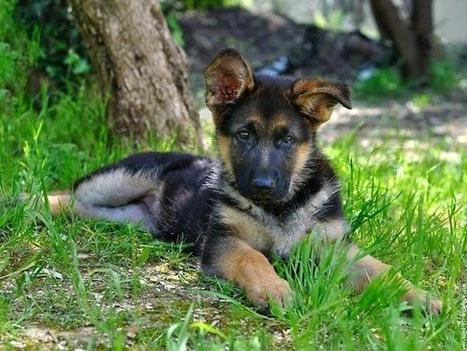 Chăm sóc nuôi dưỡng chó béc giê con - Thức ăn cho thú cưng | nanapet | Scoop.it