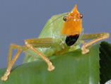 BBSRC FUNDED: South American cricket ears shown to rival human hearing | BIOSCIENCE NEWS | Scoop.it