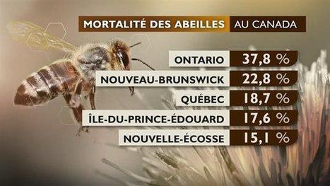 Plus d'une abeille sur six est morte cette année au Canada | ICI.Radio-Canada.ca | apiculture 2.0 | Scoop.it