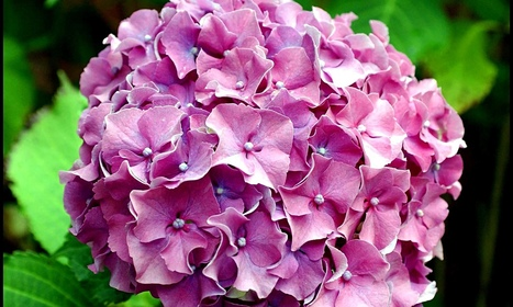 High danger hydrangea? French police hunt gang peddling 'cheaper weed' - The Guardian | World news | Scoop.it