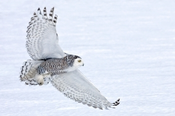 Studying Owls to Improve Aircraft | Biomimicry | Scoop.it