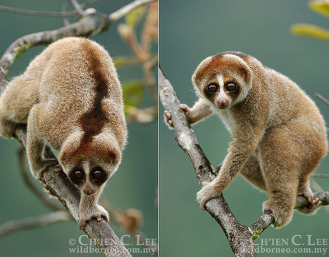 Kayan Loris, New Species of Primate Discovered with Toxic Bite | Dark Emperor and Other Poems of the Night | Scoop.it