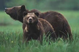 End the grizzly bear trophy hunt | Nature Animals humankind | Scoop.it