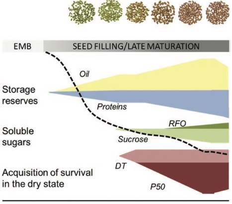 Late seed maturation: drying without dying | SEED DEV LAB Biblio | Scoop.it
