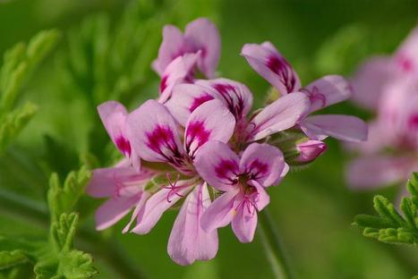 """""""I have used Honey and Macadamia rose ( geranium) scented for quite a few months...   Beauty and the Bees Tasmania   Scoop.it"""