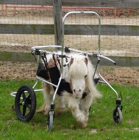 Sometimes minihorses need wheelchairs too! | dismappa - verona accessibile | Scoop.it