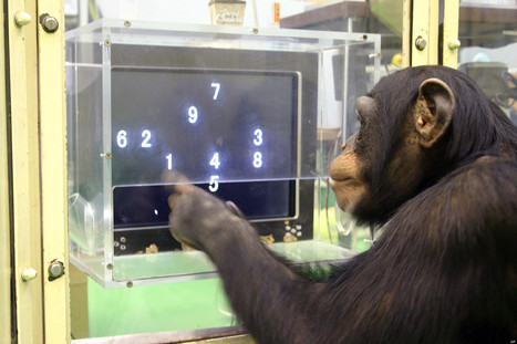 Chimp Tops Humans In Key Mental Test | Radio Show Contents | Scoop.it