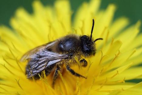 La France, premier pays de l'Union Européenne pour la mortalité des abeilles (printemps-été) - Breizh-info.com, Actualité, Bretagne, information, politique | Agriculture et planète | Scoop.it