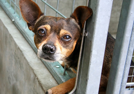 8 reasons to adopt a senior dog   Animal Empathy & Natural Pet Care   Scoop.it