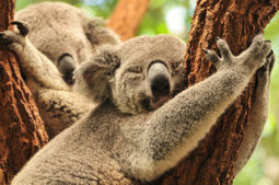 Tree hugging helps koalas keep their cool | Nature enviroment and life. | Scoop.it