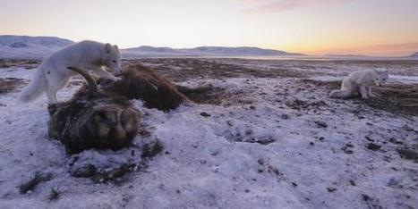 Climate change threatens the existence of Arctic musk oxen | Gaia Diary | Scoop.it