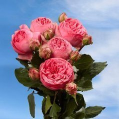 (1)   Garden Rose Pink Piano 72 Roses Global Rose | Same Day Delivery Flowers | Scoop.it