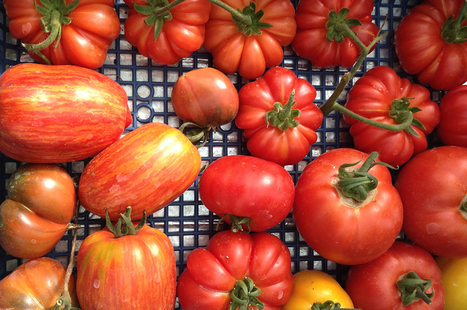 A guide to Italian tomatoes by Jamie Oliver | Le Marche and Food | Scoop.it