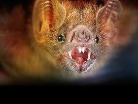 Environmental Groups to Sue for Protection of Endangered Bats in Southern W.Va. - WSAZ-TV | Bat Biology and Ecology | Scoop.it